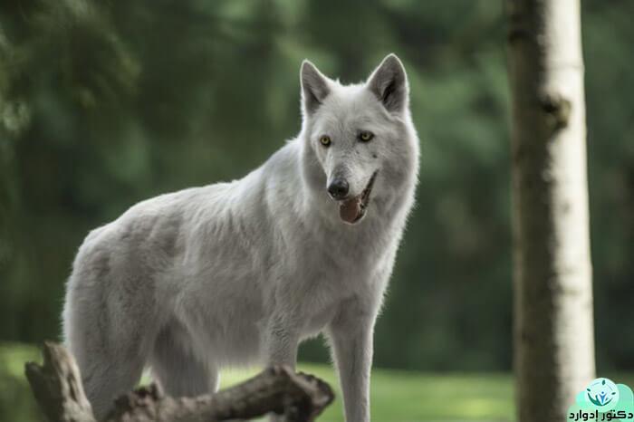 تفسير حلم الذئب للمتزوجه